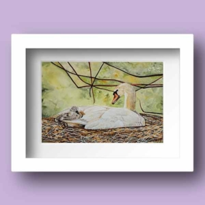 Limited Edition Print of a Mohter swan cradling her cygnet completed in watercolours on paper
